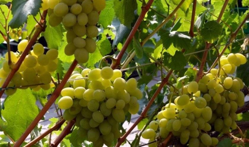 Сорт винограда галахад: описание, фото