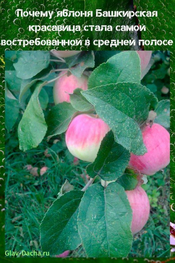 Элитная яблоня солнышко: описание, фото
