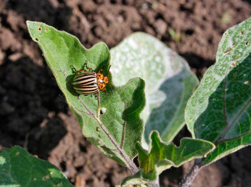 Как избавиться от колорадского жука: проверенные средства и методики, а также обзор лучших химикатов, их плюсы и минусы