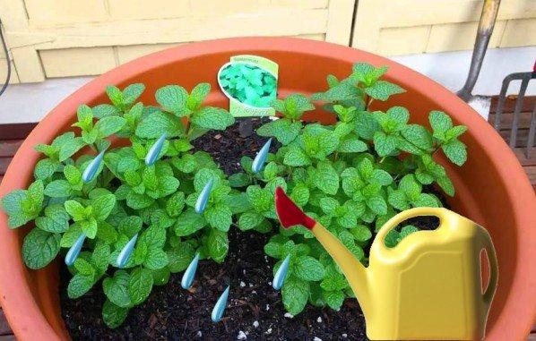 Мята в домашних условиях: выращивание и уход, видео и фото