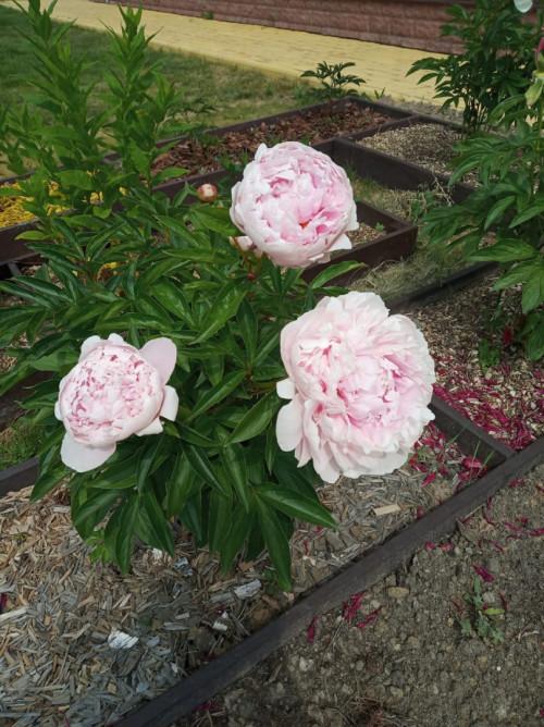 Пион сара бернар: фото, описание сорта, выращивание и уход
