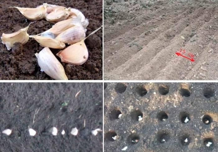 Яровой чеснок — выращивание и уход в открытом грунте