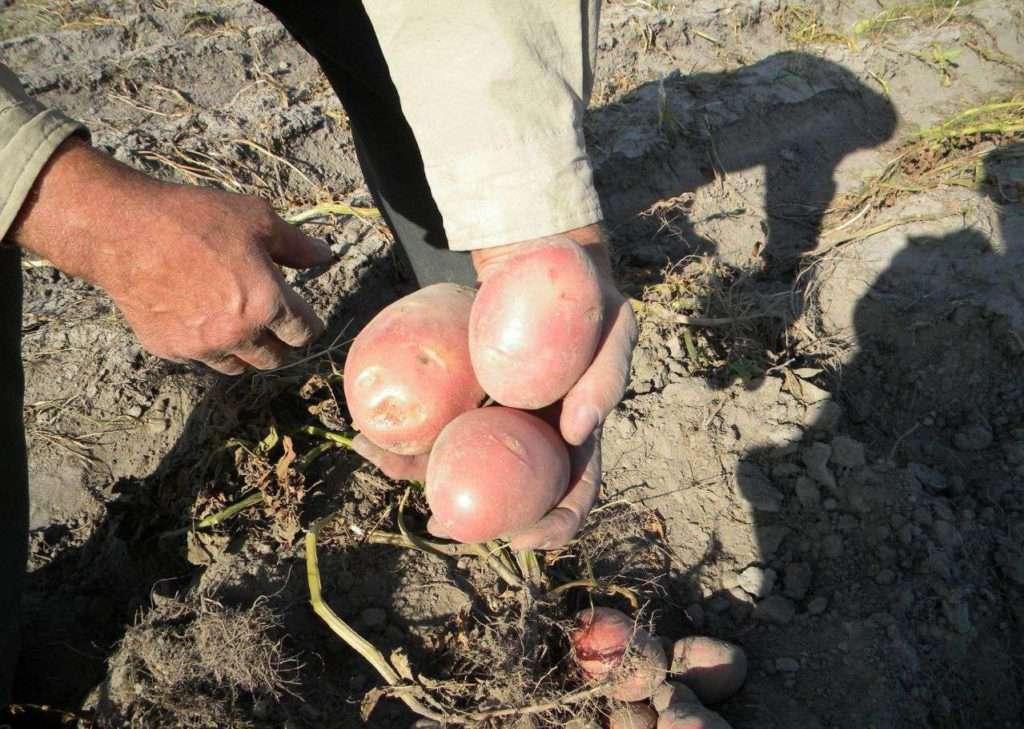 Сорт картофеля сорокодневка: характеристика, описание с фото, отзывы