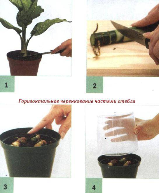 Как вырастить мяту из семян в огороде?
