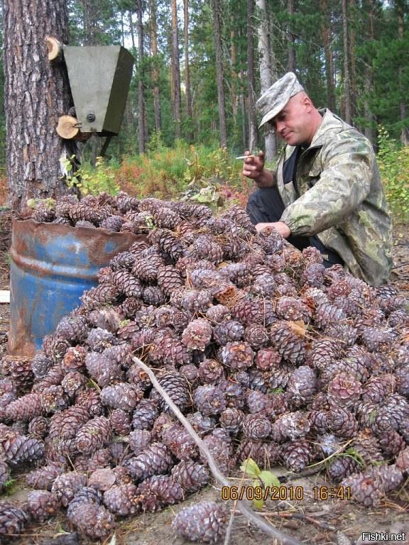 Сибирский кедр и продукция из него / заготовка орехов