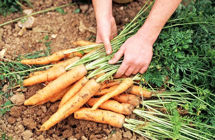 Выращивание моркови - все секреты и тонкости ухода