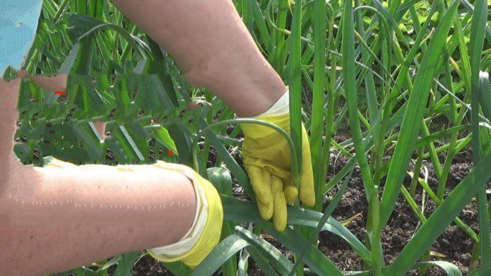 Когда завязывать чеснок в листья - особенности, описание и рекомендации