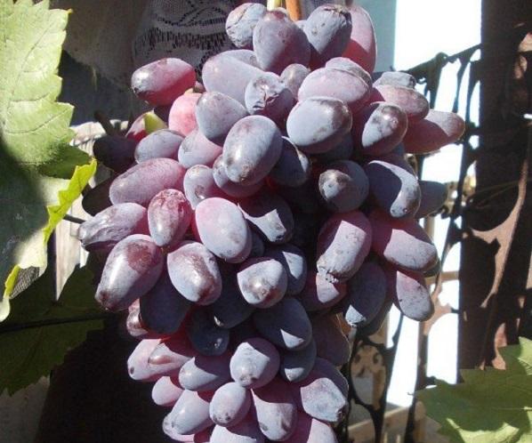 Сорт винограда памяти негруля, описание сорта с характеристикой и отзывами, а также особенности посадки и выращивания, фото