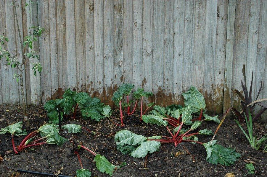 Ревень: выращивание из семян, как вырастить в открытом грунте
