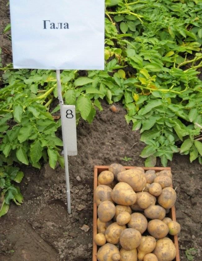 Картофель гала: описание сорта, характеристика, посадка и уход в домашних условиях, отзывы, фото