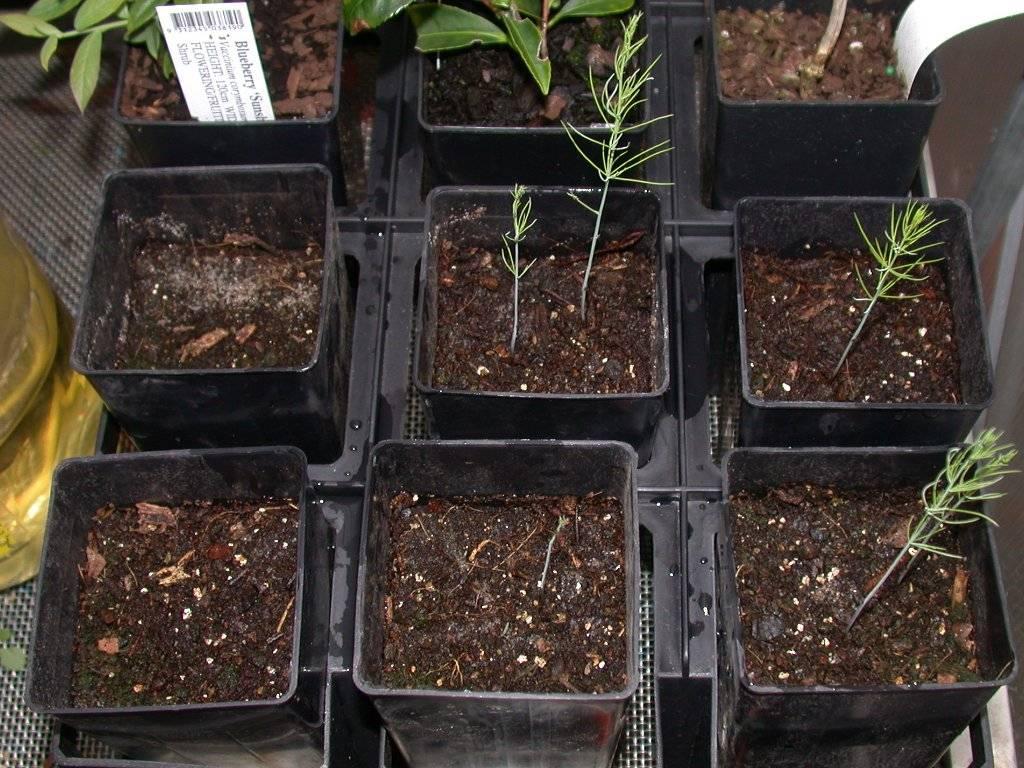 Спаржа из семян: можно ли вырастить сочные стебли самостоятельно
