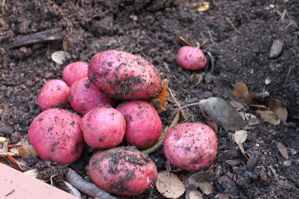 Картофель манифест: описание, характеристика сорта, выращивание и уход, фото