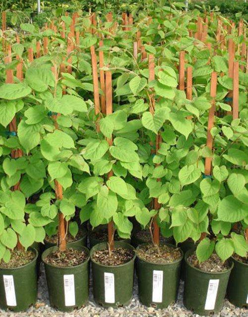 Как вырастить настоящее киви в подмосковном саду?