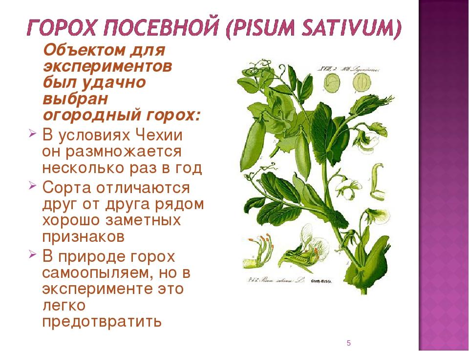 Семена гороха: описание и характеристика лучших сортов с фото