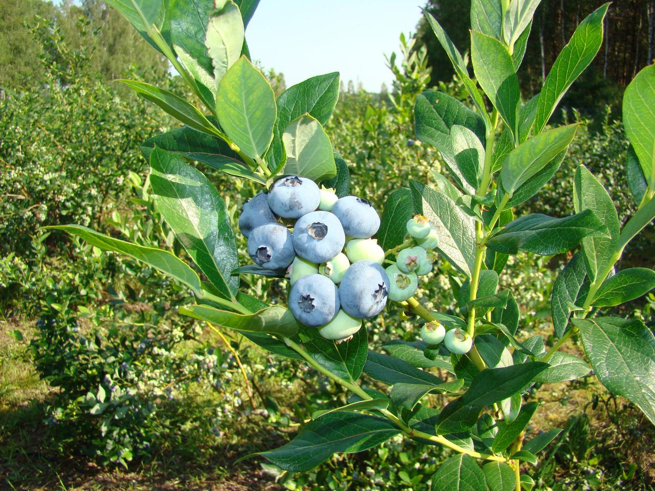 Голубика патриот - как выращивать и ухаживать