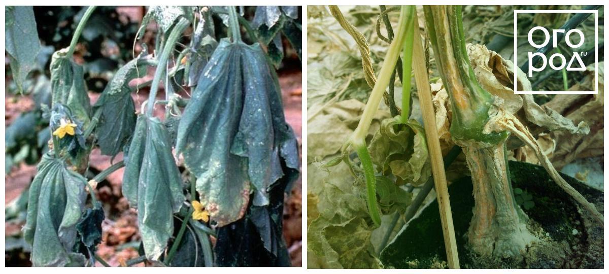 Как бороться с фузариозом огурцов: спасительные советы огородников и проверенные средства