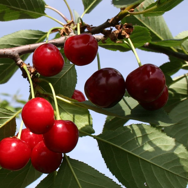 ᐉ как выбрать лучший самоплодный сорт черешни и вишни для подмосковья - roza-zanoza.ru
