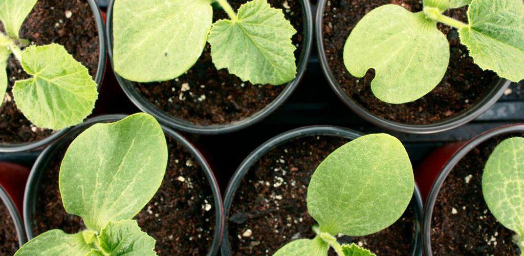 Почему вянут листья на огурцах и чем помочь