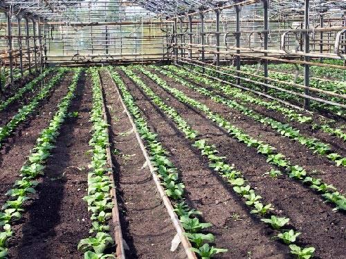 Китайская капуста пак-чой: рекомендации по выращиванию и уходу