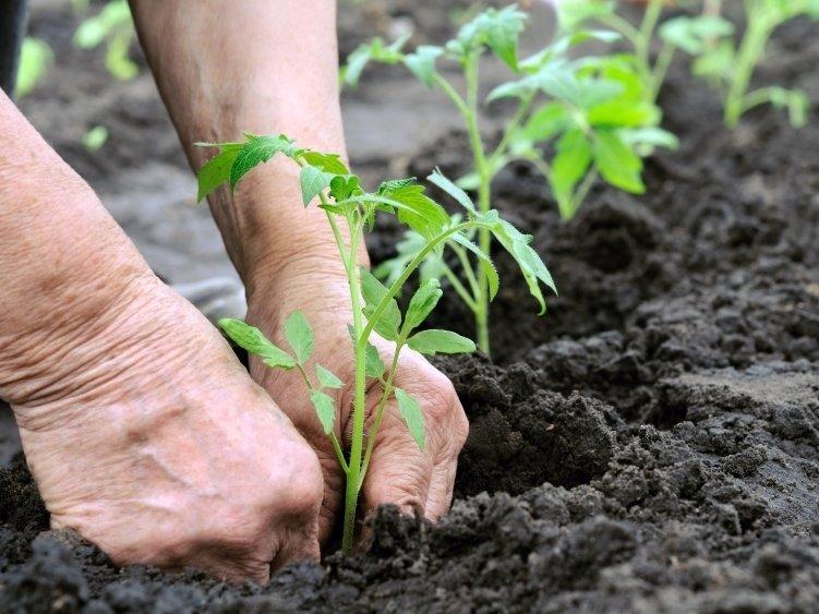✅ о выращивании и уходе за бобами в открытом грунте, на даче, в домашних условиях