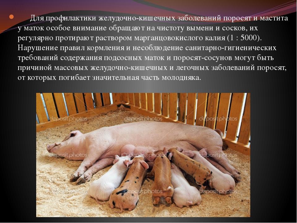 Эффективный откорм свиней в домашних условиях