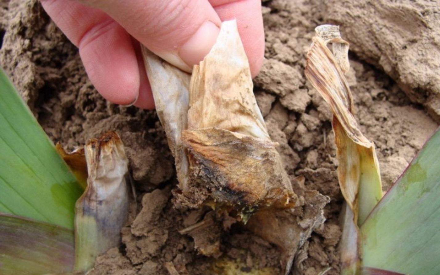 Гладиолусы плохо набирают бутоны или не цветут? проверьте все ли вы сделали правильно