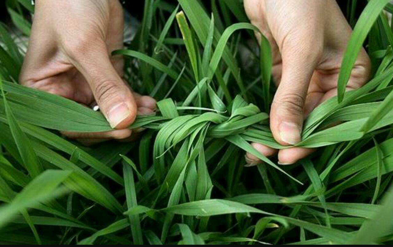 Когда завязывать листья чеснока в узел и нужно ли это делать?