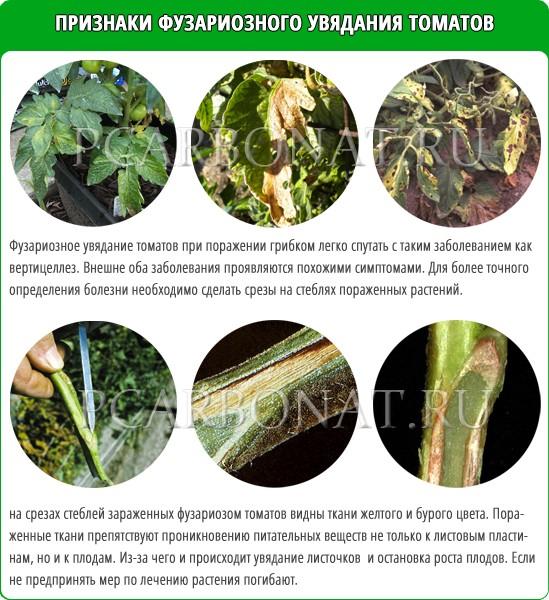 Фузариозное увядание томатов, лечение народными средствами