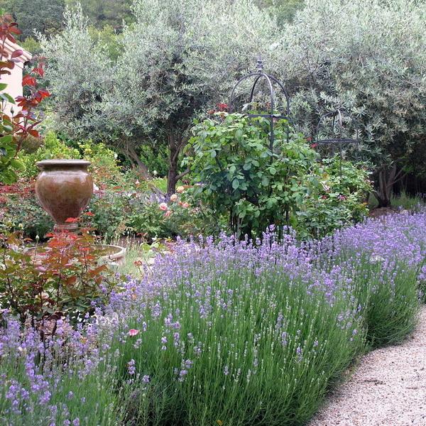 Правила посадки лаванды. ароматная лаванда в вашем саду   огородники