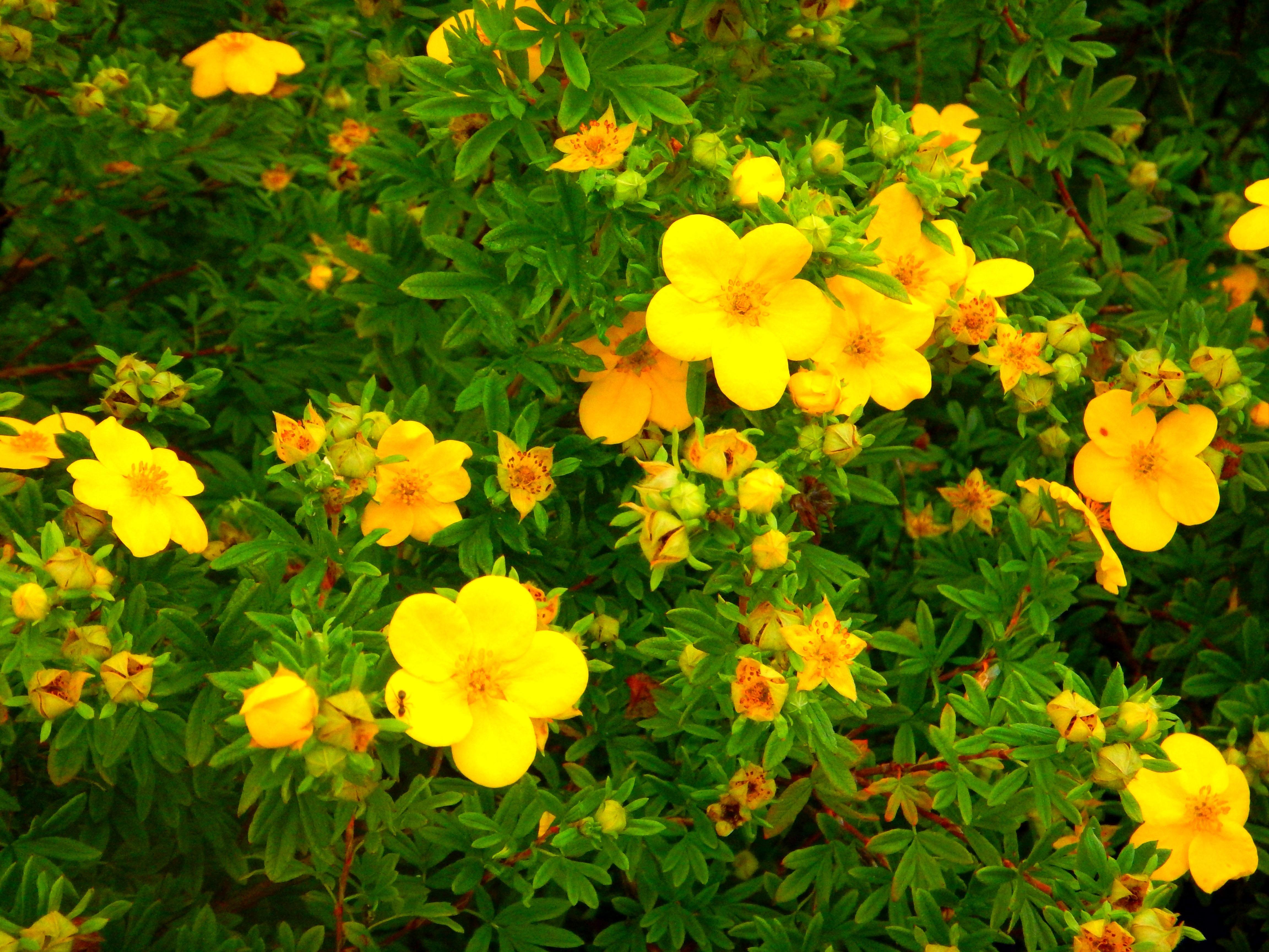 Желтая лапчатка: сорта, посадка и уход