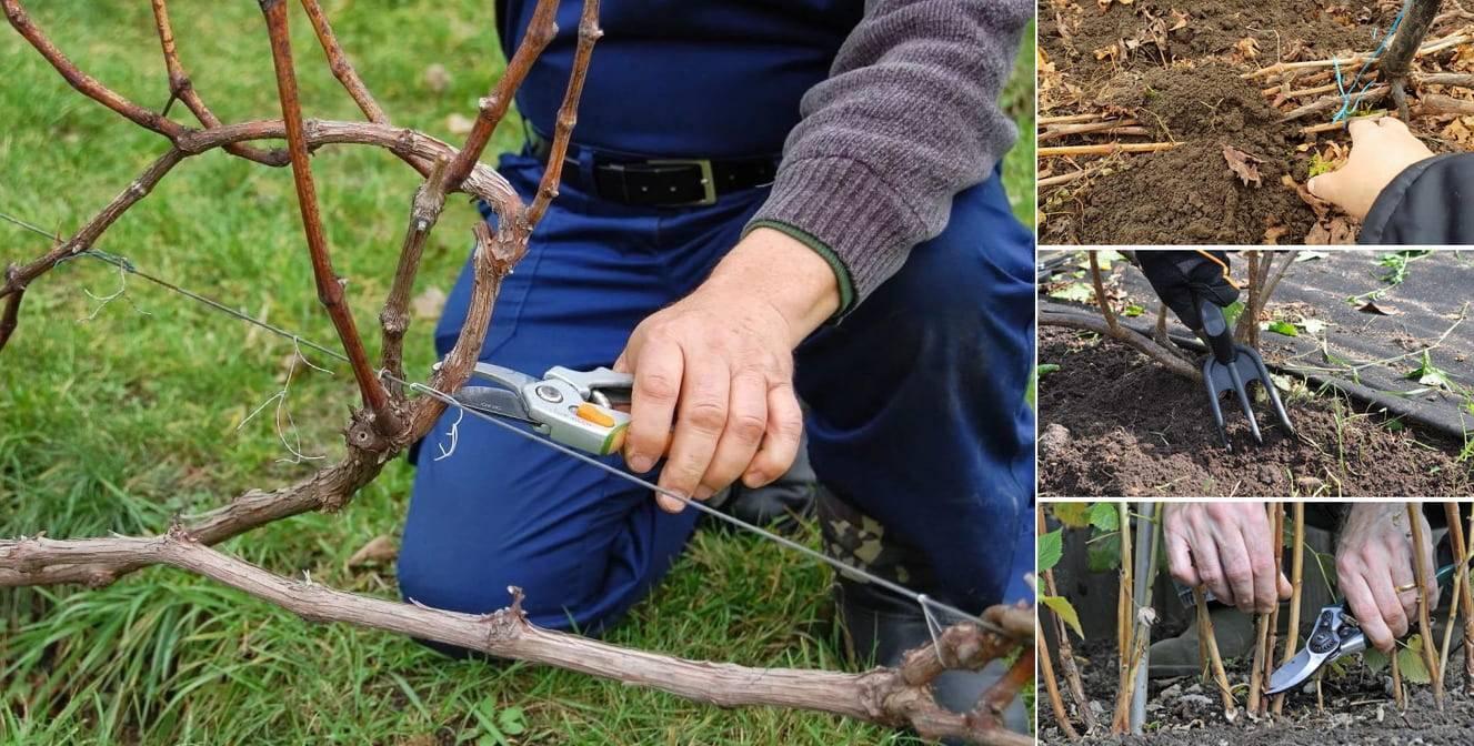 Обрезка винограда весной для начинающих: схема