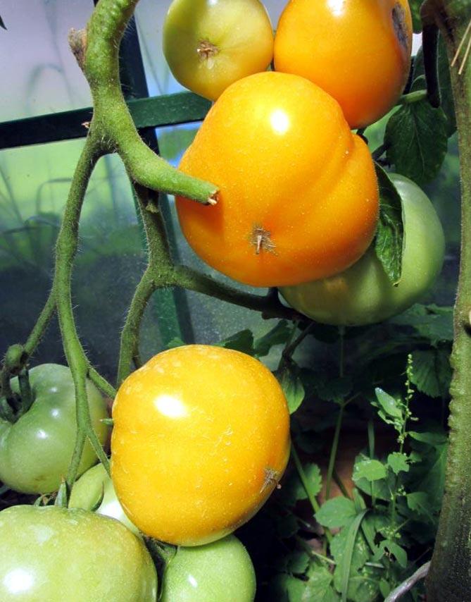 Характеристика, описание и особенности выращивания томата хурма