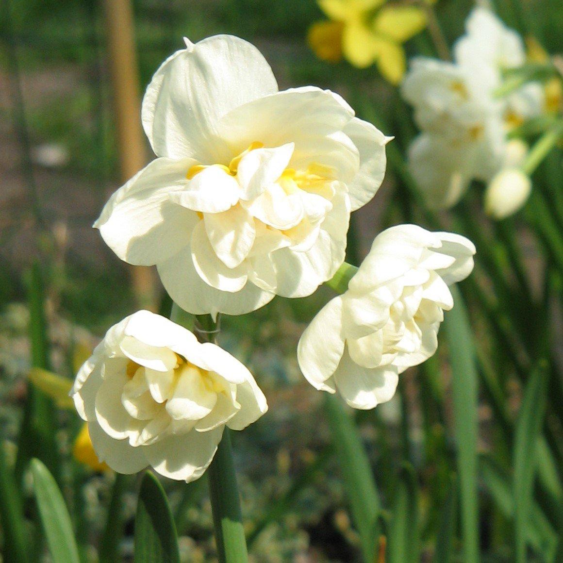 Нарцисс ирен коупленд: описание и характеристики сорта, посадка и уход, отзывы с фото