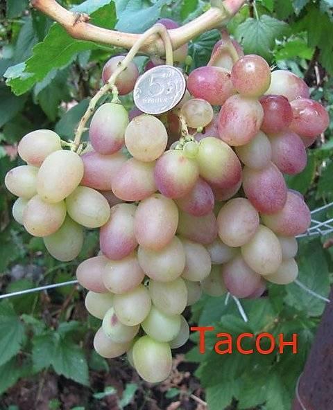 Виноград сорта оригинал: характеристика сорта и особенности агротехники