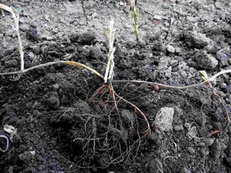Клематисы: посадка, уход на урале: как выбрать сорт, выращивание, размножение