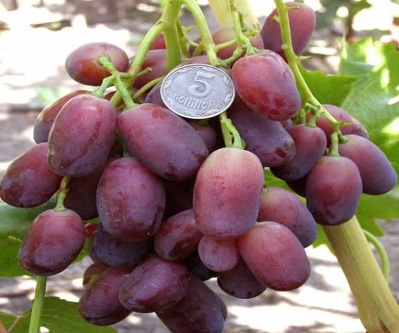Сорт винограда памяти учителя: фото, отзывы, описание, характеристики