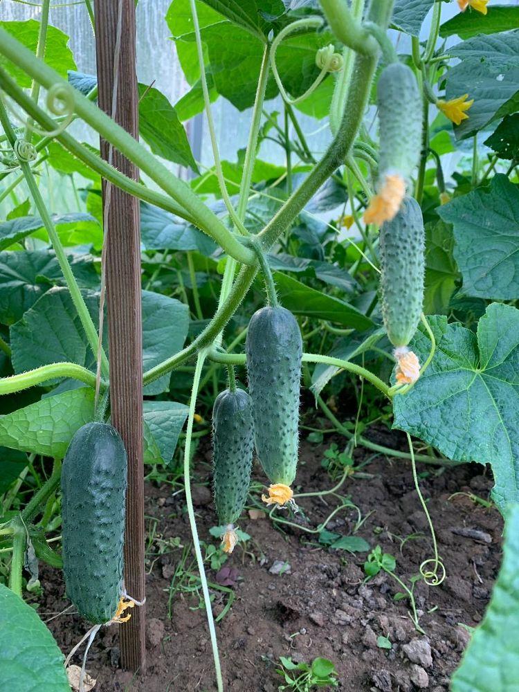 Огурец темп f1 — особенности, отзывы, рекомендации по выращиванию