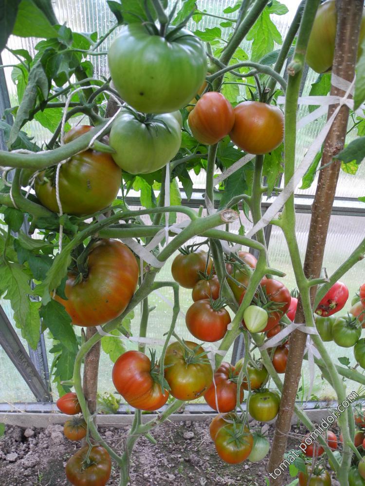 Томат заржавевшее сердце эверетта — описание сорта, урожайность, фото и отзывы садоводов
