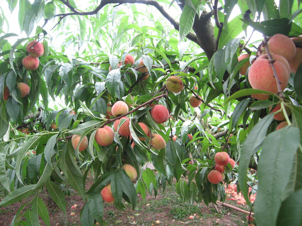 Сорта персика для средней полосы россии, подмосковья, крыма. морозостойкие и устойчивые к курчавости