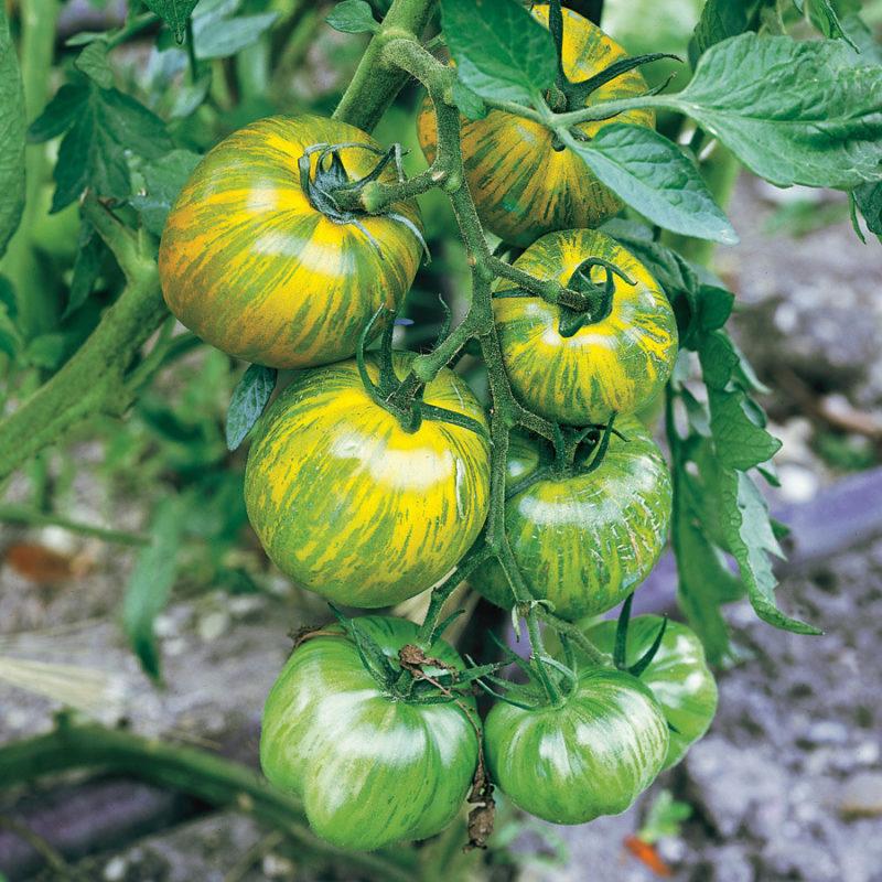 Описание томата зеленая зебра и других видов помидор