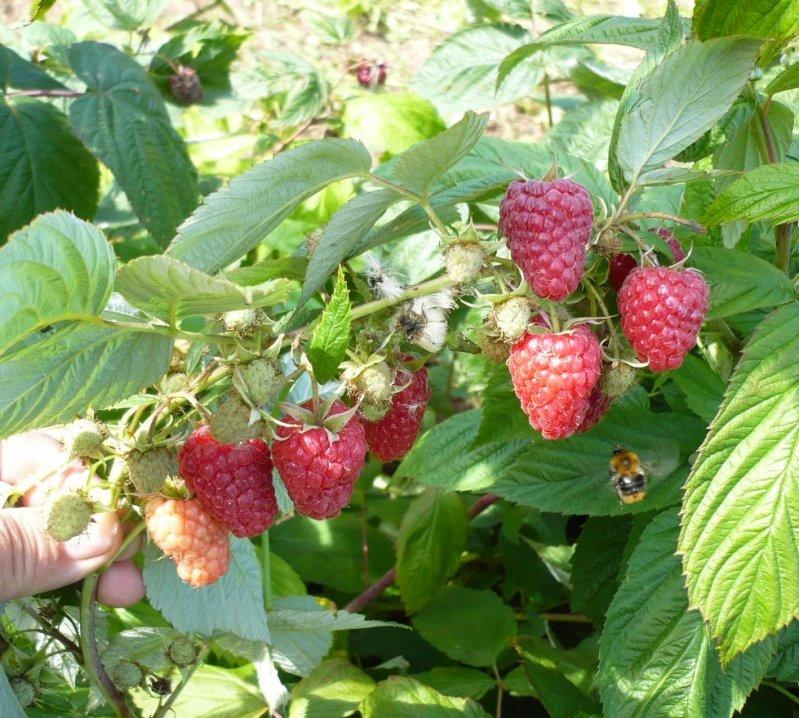 Описание сорта малины таруса: фото, отзывы, выращивание и уход