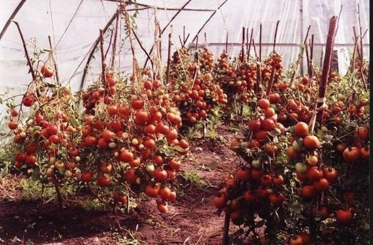 Помидоры для ленивых огородников, выращивание, отзывы – все о томатах. выращивание томатов. сорта и рассада.