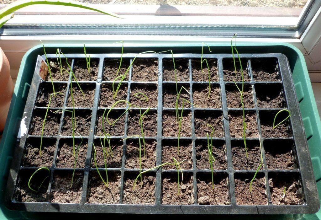 Специфика выращивания и ухода за луком в открытом грунте