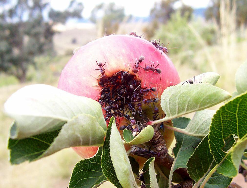 Топ пять самых опасных вредителей яблонь
