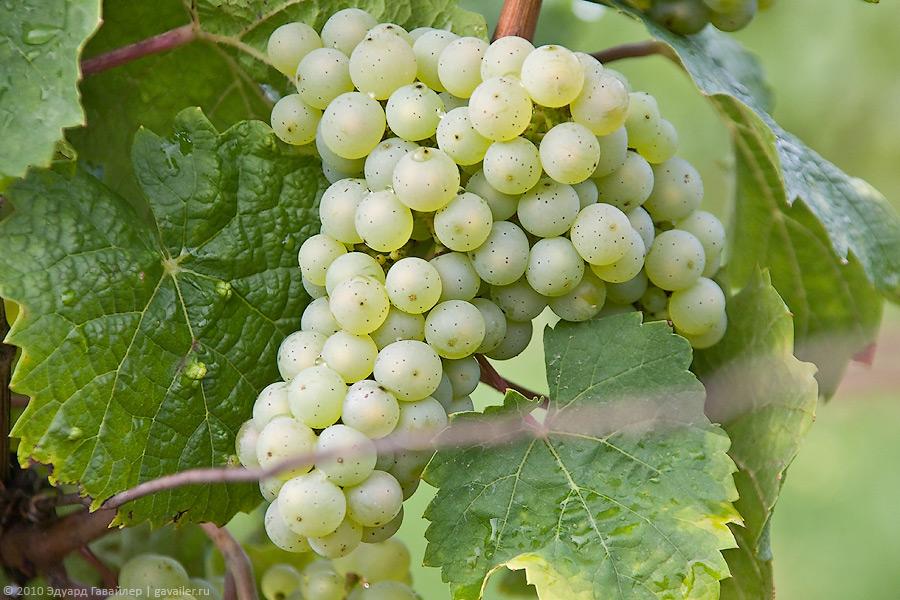 Виноград рислинг: описание и характеристики сорта, особенности ухода и фото