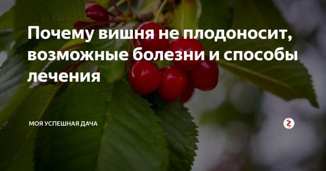 Почему не плодоносит вишня: что делать