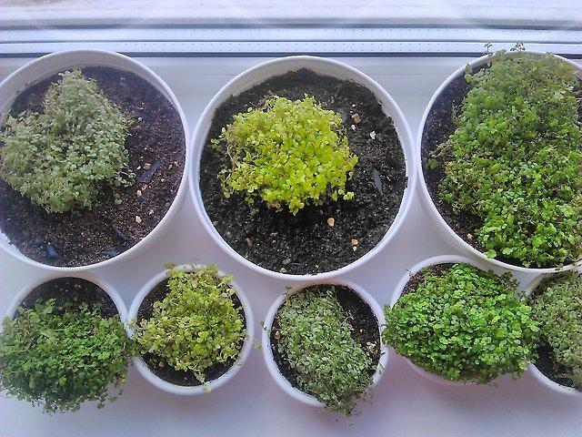 Солейролия - уход в домашних условиях, фото, размножение комнатного растения, цветение, полив