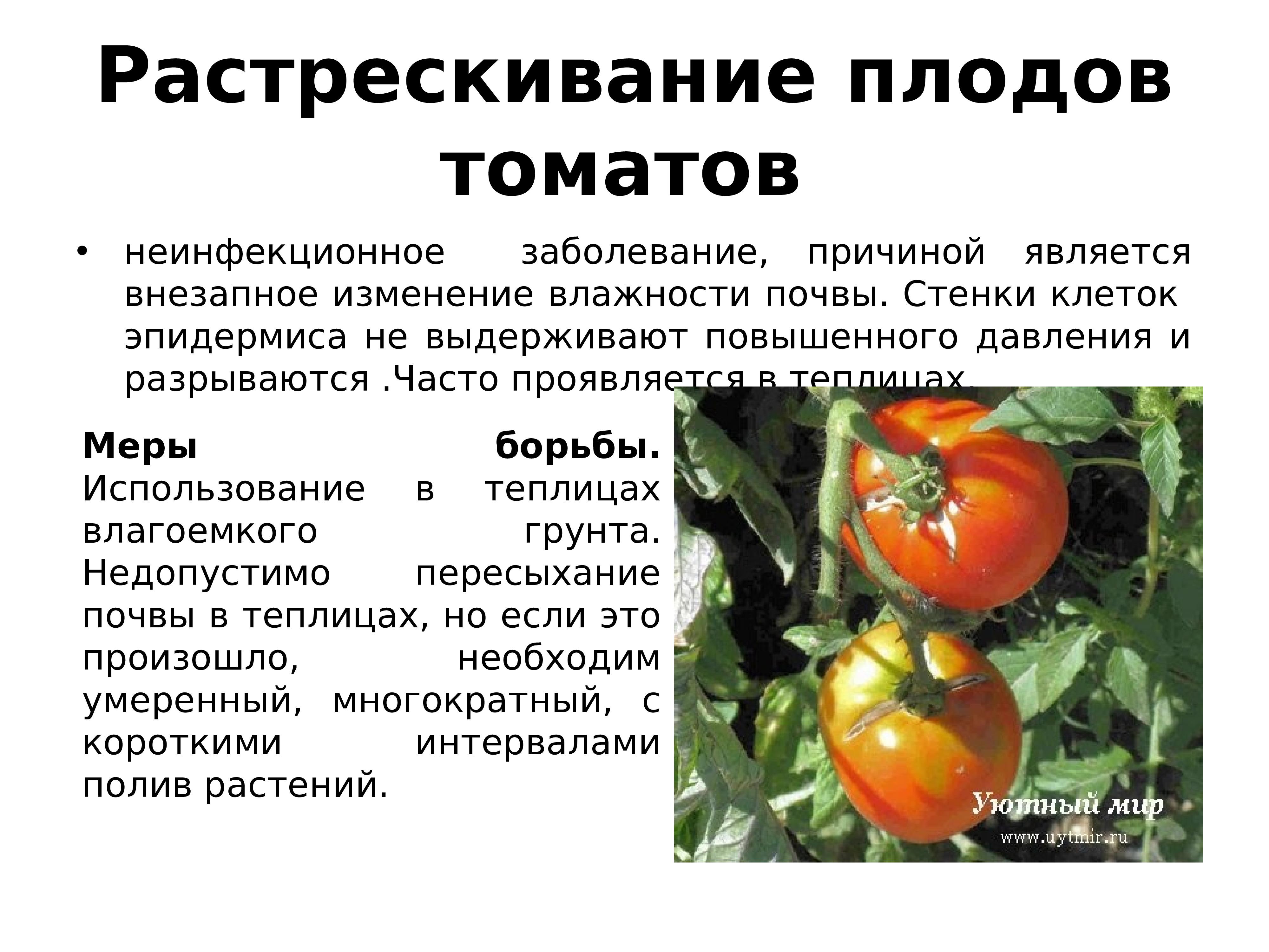 Уход за помидорами после посадки: советы, как его организовать, начиная с полива семян и до мульчирования почвы для хорошего урожая, а также фото кустов томатов русский фермер