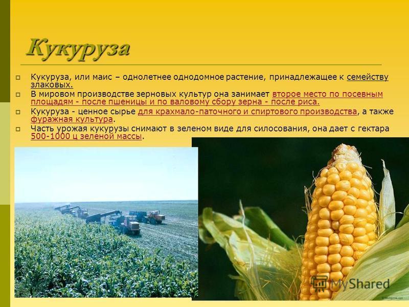Что такое кукуруза — это фрукт, злак или овощ: разбираемся в вопросе и подробнее изучаем царицу полей - agronom-expert