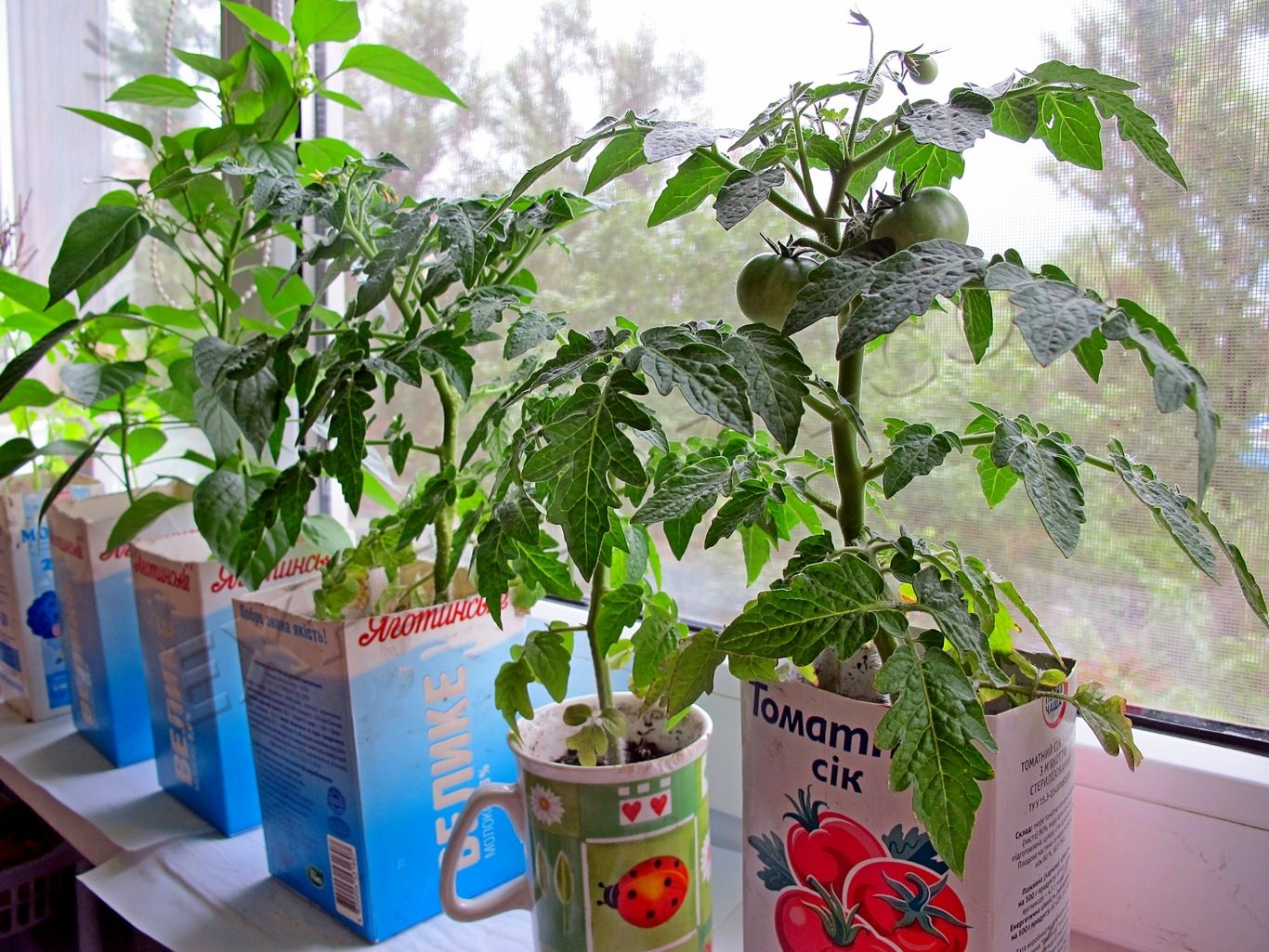 Помидоры черри на подоконнике: как вырастить, как посадить